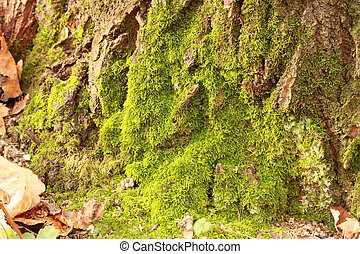 Moss on the old tree