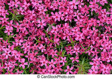 moss phlox - Phlox, purple spring flowers texture background