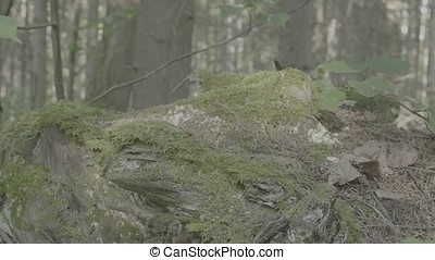 Moss rock. Big stones with moss and trees in foggy forest,...