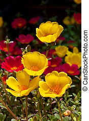 Moss Rose yellow and red color in background
