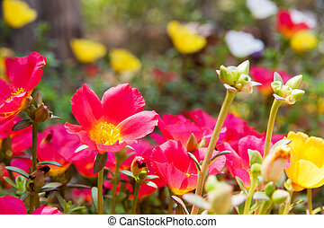 Moss Rose yellow and red color