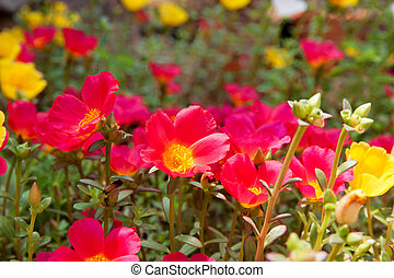 Moss Rose yellow and red color in garden