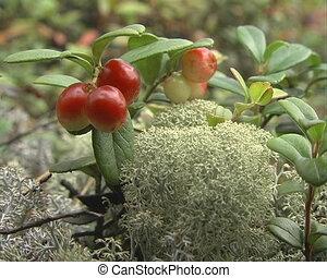 Moss. - Moss a green grass and sheet cranberry.