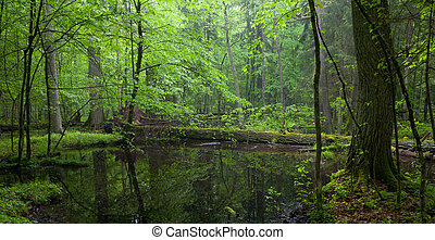 Moss wraped oak trees lying in water inside of Bialowieza...