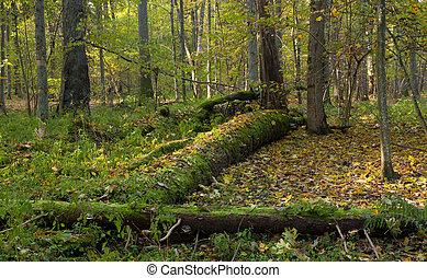 Moss wrapped spruce tree broken lying