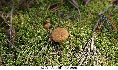 mushrooms in green moss - mossiness mushrooms in green moss
