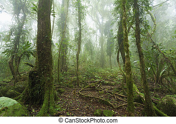 Mossy, humid australian rainforest enveloped in clouds.