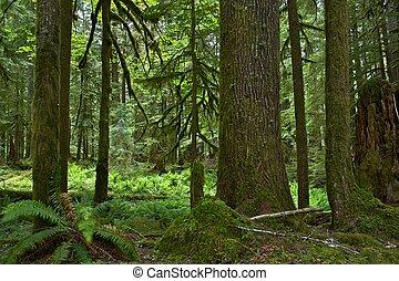 Mossy Forest in Washington State, USA. Washington Rainforest Landscape. Nature Photo Collection.