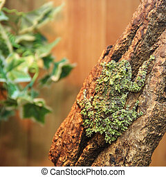 Mossy frog Theloderma corticale on the branch, toned