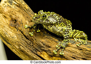Mossy Frog (Theloderma corticale) Tree frog native to...