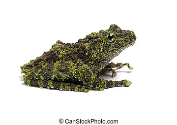 Mossy Frog (Theloderma Corticale) - Vietnamese Mossy Frog on...