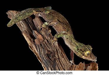 Mossy gecko male on branch