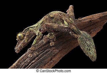 Mossy leaf-tailed gecko on vine