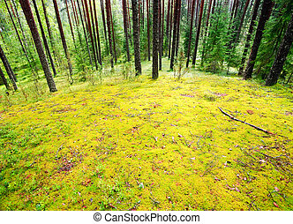 Mossy meadow at pinewood after rain