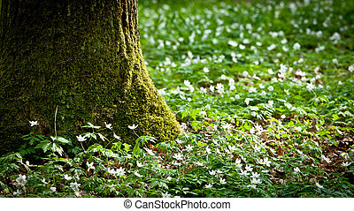 Mossy old tree and windflower in forest