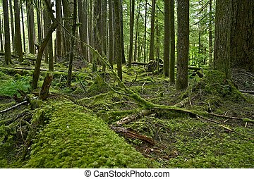 Olympic Rainforest - Mossy Olympic Rainforest - Pacific...