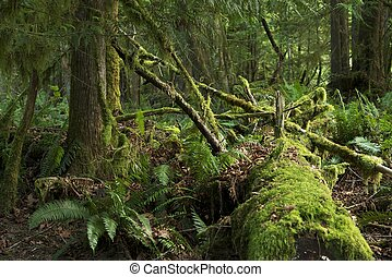 Mossy Rainforest of American Northwest. Washington State...