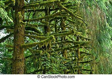 Mossy Rainforest Trees