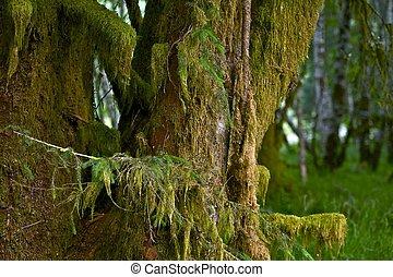 Mossy Tree of Rainforest