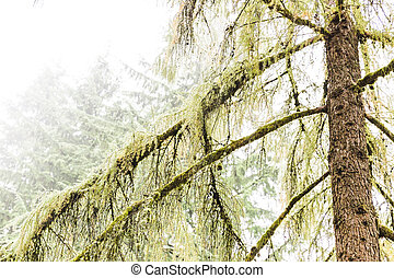 Mossy Trees in Wet and Foggy Forest
