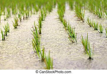 most, beültetett, hántolatlan rizs, palánta, alatt, mocsaras terület