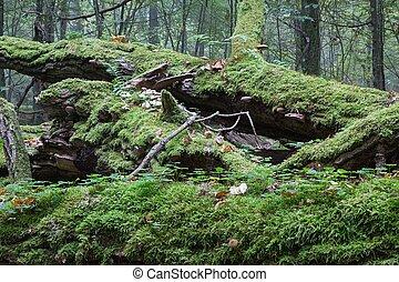 Most wrapped broken oak tree lying
