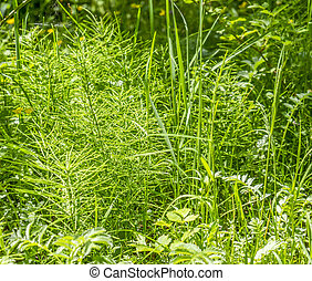 mostly horsetail plants closeup