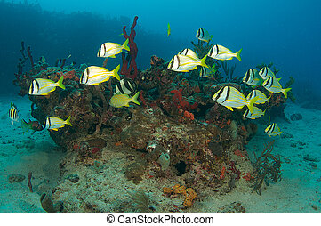 Mostly Porkfish swimming over a coral formation.