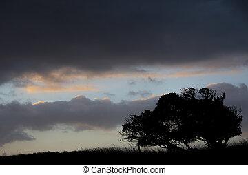 mostrado silhueta, windswept, stunted, árvore