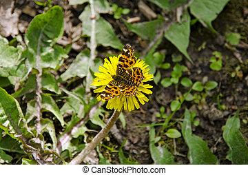 motýl, detail, květ, sedění, pramen, pampeliška, slunný den, názor