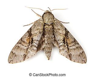 moth, 灰, スフィンクス
