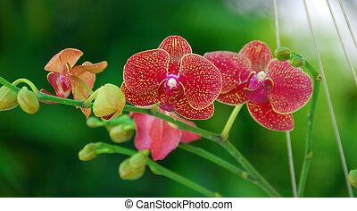 moth, 花, 赤, 蘭