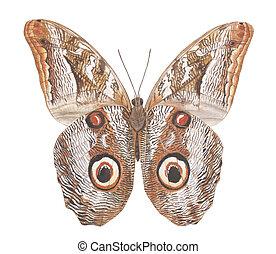 moth, búho