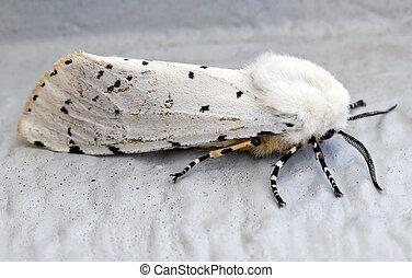 moth, blanco