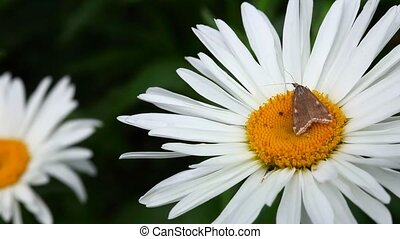 Moth. - Brown moth on chamomile.