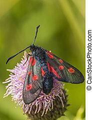moth, burnet