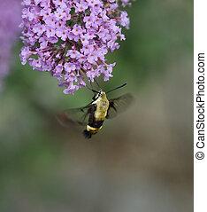 moth, colibri