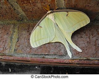 moth, descansar, luna, día