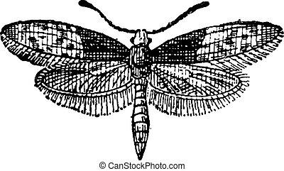 moth, farfalla, o, liphyra, brassolis, vendemmia, incisione