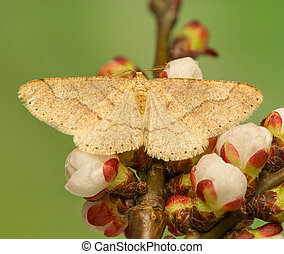 moth, geometridae, insect, -