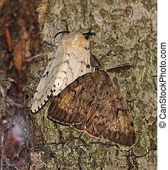 moth, gitano, par, (lymantria, dispar)