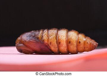 moth, isolé, museau, insecte, noir, cocon