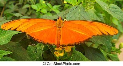 moth, julia