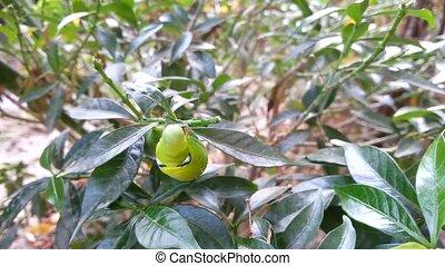Moth larvae or Caterpillars eating leaves