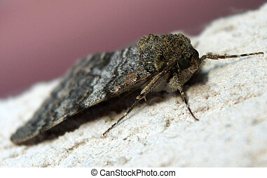 Moth of noctuidae family commonly known as owlet moths -...