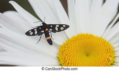 Moth on a flower daisy