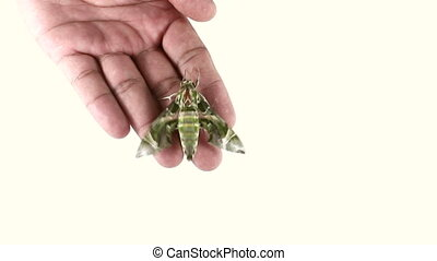 moth on hand isolated