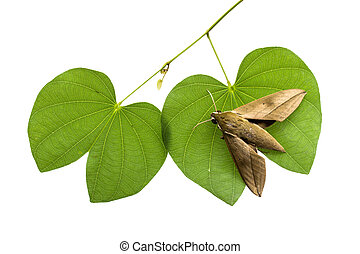 Moth on leaves on a white background.
