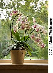 Moth Orchid in window