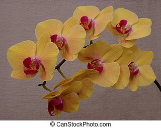 moth orchid yellow 1